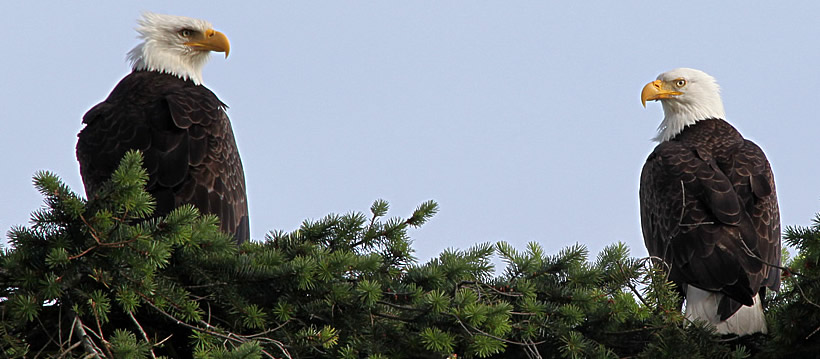 Two eagles on a Douglas Fir tree on the Olympic Peninsula